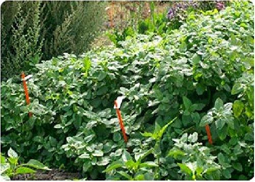 Just Seed???herbes???m?lisse???Melissa officinalis???3000?Seeds