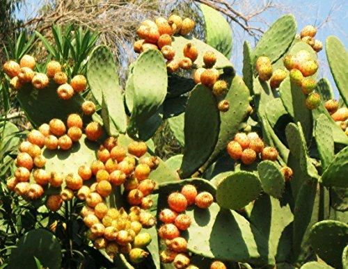 Opuntia ficus indica Nopal essbare Kakteen Nopalea Saft Nopalina Samen 150 SEEDS Y
