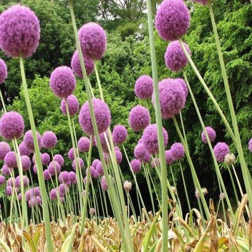 Originaux Pack européens graines de vanille vanille graines vivaces flouve vanille aromatique herbe, balcon fleur graines - 60 pcs