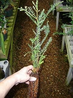 Best california redwood bonsai tree Reviews