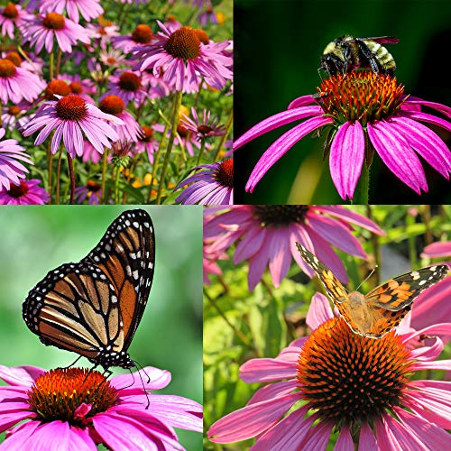 Purple Coneflower, Over 5300 Echinacea Seeds for Planting, Non-GMO, Heirloom Flower Seeds