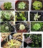 Semillas plantas carnívoras mix Drosera