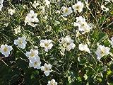 Anemone japonica 'Honorine Jobert' - Japananemone - Staudenkulturen Wauschkuhn - Staude im 9x9cm Topf
