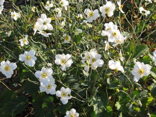 Anemone japonica 'Honorine Jobert' -...