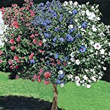 1 Rose of Sharon Tree, 3-N-1 Different Colors Plant Blast of Color Unique 1-2ft M4
