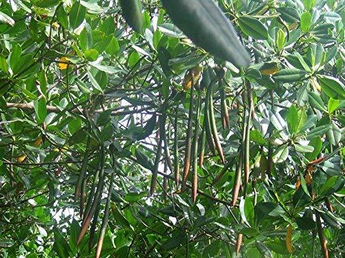Rote Mangrove Rhizophora mangle Pflanze 25-30cm Mangrovenbaum Rarität