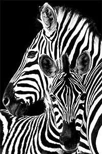 Zebra- Poster 24 x 36in