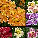 100 semillas de lirio de colores mezclados – semillas de flores de jardín, bonsái, decoración del hogar y la oficina