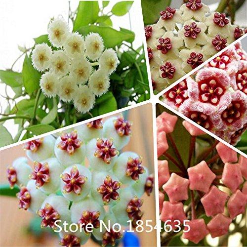 semences Jardin Hoya végétaux, graines de fleurs en pot, variété complète graines carnosa Hoya 200 particules / sac Bonsai Seed