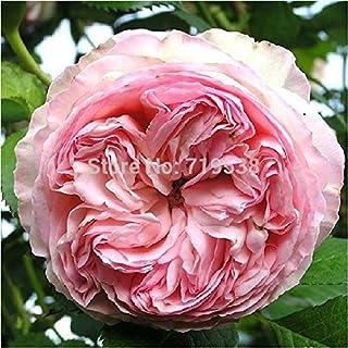 comprar comparacion Lonza gema de color rosa rosal trepador 100 semillas de flores