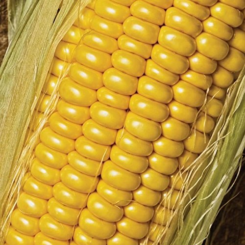 Golden Jubilee Sweet Corn Seeds - 20+ Rare Non-GMO Organic Heirloom Vegetable Garden Seeds in FROZEN SEED CAPSULES for the Gardener & Rare Seeds Collector - Plant Seeds Now or Save Seeds for Years
