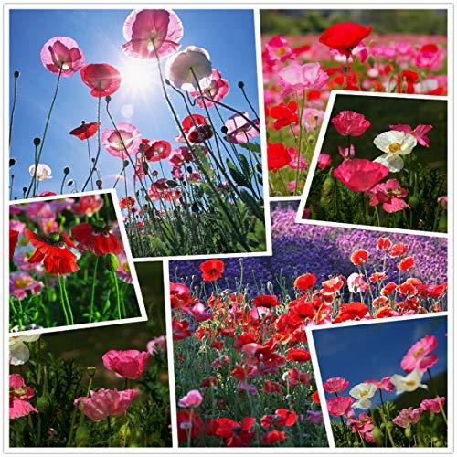 Semi di fiori di papavero (50g = 400000 +) Semi di fiori da esterno facili da vivere Semi di mais misto Primavera e autunno Pianta rustica Giardino balcone Pianta in vaso (10g)