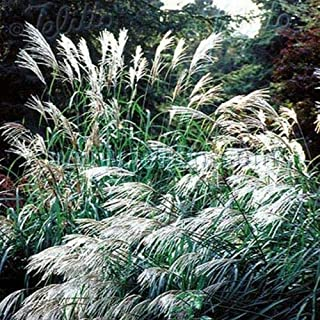 Chinese Silver Grass Miscanthus Sinensis [Early Hybrid, 25 Seeds]
