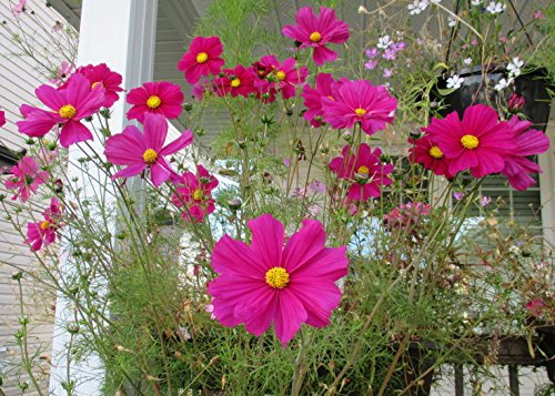 Cosmos is a medium sized flowering herbaceous plant from my garden .: Cosmos bipinnatus (English Edition)