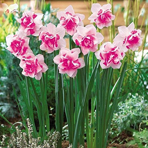 AIMADO Samen-100 Stück Narzisse traumhaft BlumenSamen Saatgut mehrjährig winterhart, Pflegeaufwand gering