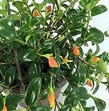 "SmartMe - Goldfish Plant - Columnea Gloriosa Plant - 4"" Long - Ship in 3"" Pot. E38"