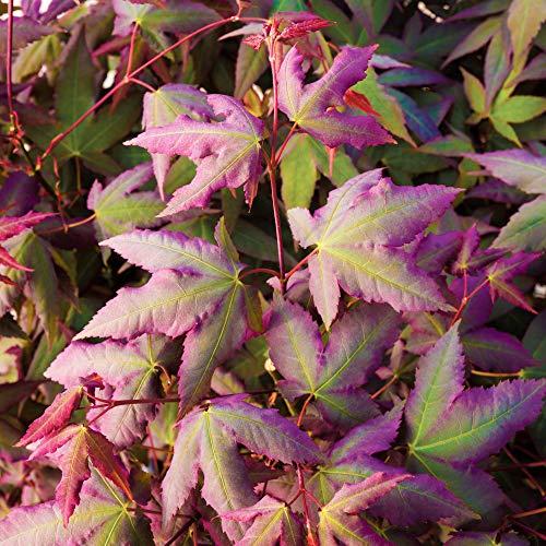 Japanese Maple Acer palmatum 'Mystic Jewel' in a 3L Pot