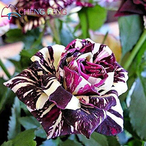 Mehrfarbig: Heißer Verkauf!50 Stücke Seltene True Blood Black Dragon Rose Samen Schöne Streifen Rosenbusch Pflanze Bonsai Blumensamen Diy Hausgarten