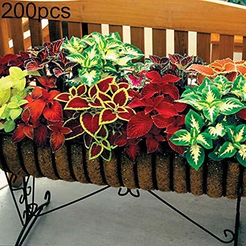 Coleus Samen, 200 Stück gemischte Coleus Begonie, mehrfarbige Blumensamen Garten Bonsai-Dekor