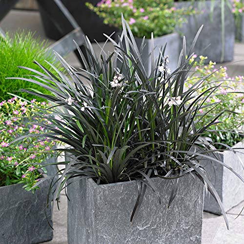 "Ophiopogon planiscapus\""Niger\"" | 2er Set Schlangenbart | Winterhartes Ziergras | Höhe 30-40cm | Topf-Ø 14cm"