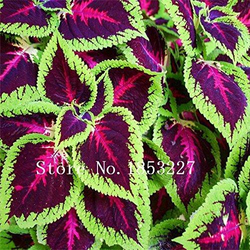 100pcs Black Dragon Coleus seeds Flower Seed Pack - Beautiful ecstatic planting flowers Bonsai seeds