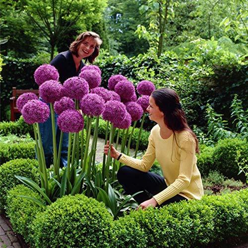 Yukio Samenhaus - RIESEN Zierlauch (Allium giganteum) Blumenzwiebel 10-100Samen winterhart mehrjährig Zierpflanze für den Garten