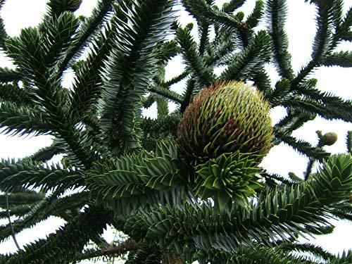 Chilenische Andentanne Araucaria araucana Pflanze 5-10cm Araukarie Schmucktanne