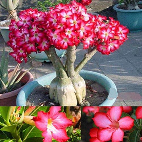 Portal Cool 5 Stücke Seltene Rosa Adenium Obesum Wüstenrose Samen Blume Bonsai Baum Dekor Mode