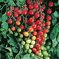 ミニトマト苗 実割れしにくい すずなりトマト【野菜苗 10.5cmポット自根苗/2個セット】露地で楽々作れ、房長70cmにもなり、ダブル・トリプル花房になりやすく超たくさん実がとれ酸味と甘さのバランスが良い美味しいミニトマト品種!! 実は割れにくく安心して収穫できる超多収型ミニトマト!! 房長70~80cmにもなり、ダブル・トリプル花房も多く発生する、超多収穫型の美味しいミニトマトです!! 糖度7度は安定。栽培方法や時期により糖度10度程度まで上がる場合があります。皮は固くないが実が割れにくく、収穫前に裂果しにくい。背丈は普通のトマト同様高くなるので長い支柱は必要です。自社農場から新鮮出荷!!(早植えの場合は寒気と霜に注意してください!)