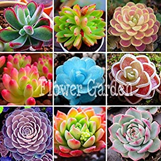 Lithops Pseudotruncatella, Genuine lithops Bonsai, lithops Potted Garden - 100 pcs/Bag,#8DBYTU