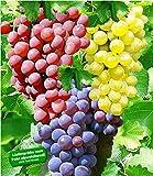 BALDUR-Garten Kernlose Tafel-Trauben-Kollektion Weinreben Sortiment kernlos, 3 Weintrauben Pflanzen New York, Vanessa, Venus