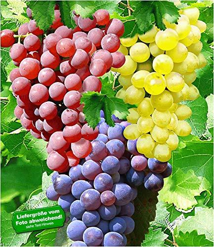 BALDUR Garten Kernlose Tafel-Trauben-Kollektion, 3 Weintrauben, Weinreben Sortiment kernlos, Pflanzen New York, Vanessa, Venus