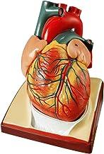 2021 جدیدترین طراحی مدل قلب انسان در اندازه زندگی ، مدل قلب آناتومیک 2 بخشی 1: 1 بر پایه دیافراگم و پریکارد ، 34 مدل ساخت علوم تشریحی برای مطالعه کلاس و مطالعه قلب و عروق