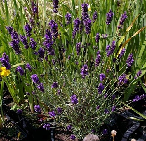 Lavandula angustifolia Hidcote Blue - Garten-Lavendel - Preis nach Stückzahl 5 Stück