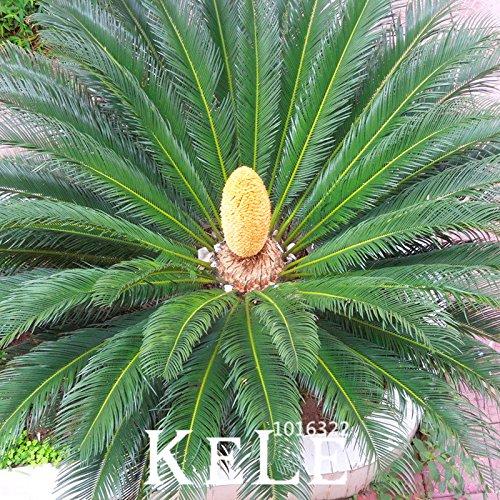 Big Promotion! Graines Cycas plante à graines en pot de fleurs des articles de bricolage jardin ménage 10 PCS / Lot Cycas Seeds, # 5NFV4Q