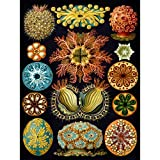Bumblebeaver Nature Art Haeckel ERNST Plankton SEA Biology