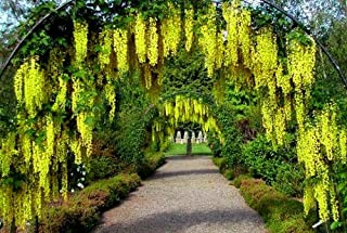 Best golden chain flower tree Reviews