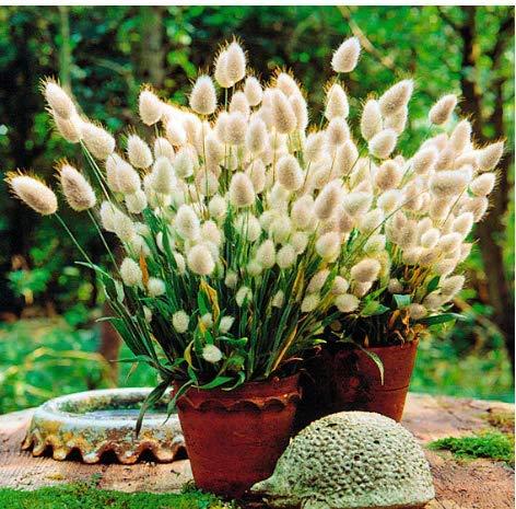 Acecoree Samen- Selten Lampenputzergras Ziergräser Federborstengras Bunny Tails, Süßgras Mischung Garten Blumensamen winterhart mehrjährig (#02)