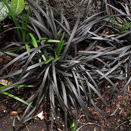 Ophiopogon planiscapus 'Nigrescens' - Plante à feuilles de Graminée noire