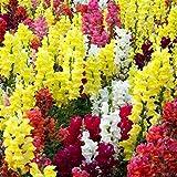 Fnho Perennes Semillas de Flores,Jardín Planta en Maceta perenne,Flor de Hierba de Peces de Colores, cuántos años es fácil de vivir-10 Granos