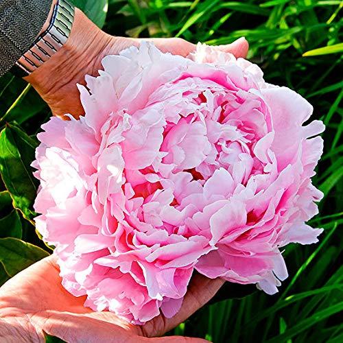 Yukio Samenhaus - 10pcs Raritäten Riesen-Edelpäonie Pfingstrose Mix dichtgefüllten Blütenbälle, Blumensamen Mischung winterhart mehrjährig für die Bordüren-Pflanzung Beetbegrenzung