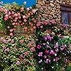 Cioler Seme di fiore- 100pcs Piante rampicanti del profumo Semi variopinti del fiore di Cress della roccia fiori ornamentali per Muro, casa, balcone, lungo la strada, giardino #2