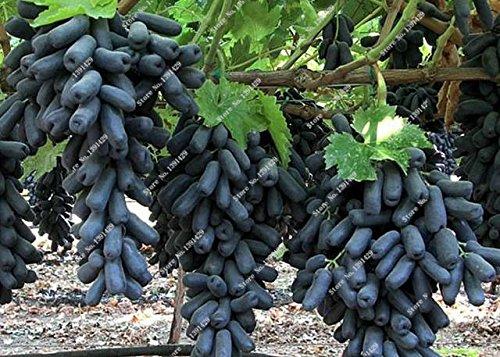 Rare Finger Raisin Noir Graine Heirloom Fruit organique Graine croissance naturelle, Arbre de raisin plantes grimpantes bricolage Pour la maison Jardin 30 Pcs 15