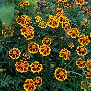 French Marigold Seeds (Dwarf) - Legion of Honor - Packet, Bi-Colored Red/Yellow Flowers