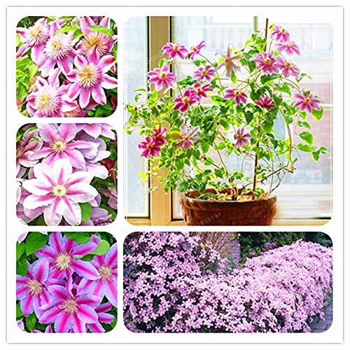 Bloom Green Co. 100 pezzi rosa Clematis Bonsai Rare reale Rare Clematis Natural Plant Growth pianta bonsai giardino della casa: MIX