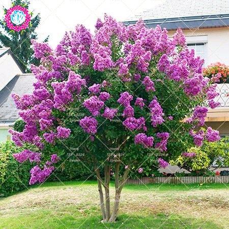 100pcs mirto - Lagerstroemia indica 'Natchez' Semillas Semillas perenne de flores Patio árbol de Myrtle para jardín Plantar
