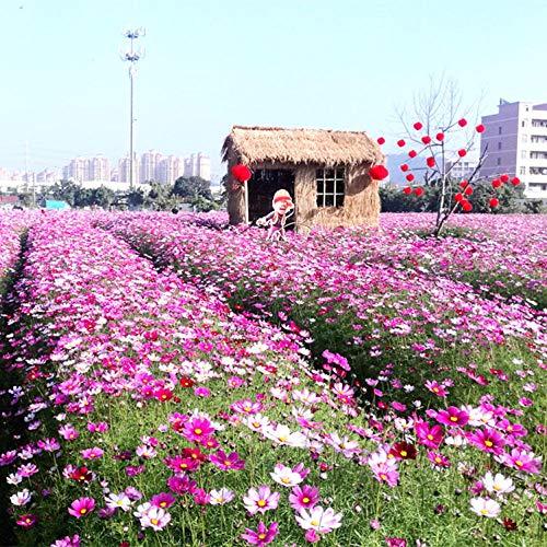 Ornamentales Semillas,Cosmos combinación de Flores Silvestres Semillas de Flores jardín de partículas Greening-Cosmos 1000,Semillas de Plantas Verdes