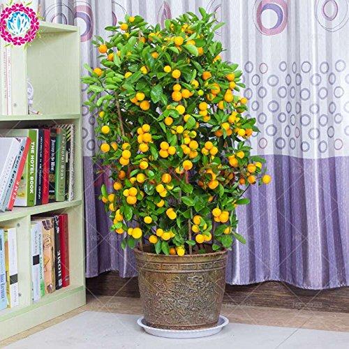 20pcs/sac de graines d'arbre orange nain Bonsai Mandarine Graines arbre comestible de fruits pour plantes potagères grand pot 4