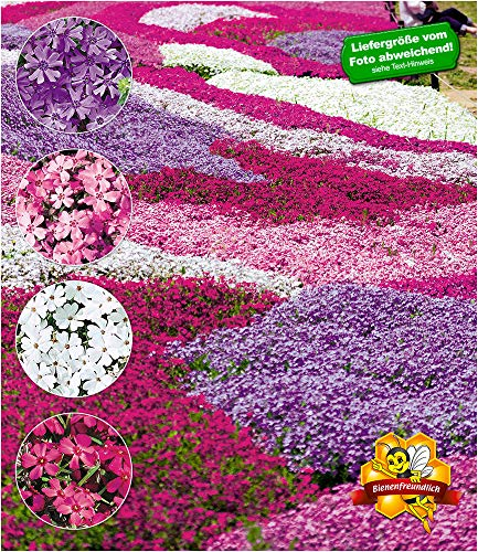 BALDUR Garten Winterharter Bodendecker Phlox-Mix Flowers of The Sea, 4 Pflanzen, Polsterphlox Polster-Flammenblume Polsterstauden Teppichphlox Moosphlox mehrjährig, Phlox subulata