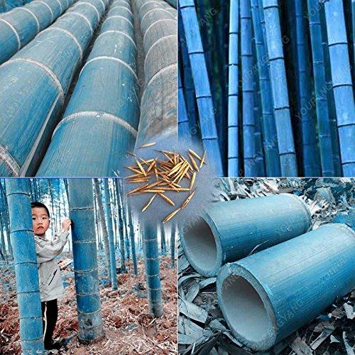 50pcs / sac plantes de bambou bleu, les graines de bambou, graines de bambou Moso, Phyllostachys plante souches nature, bricolage pour la maison et le jardin Effacer
